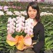 画像2: 中輪胡蝶蘭 さくら娘3本立 (2)
